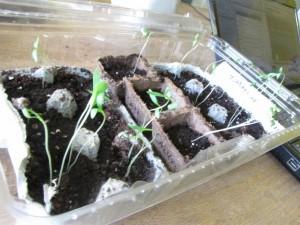 Spindly little seedlings