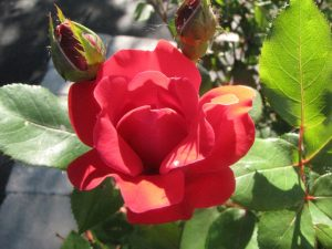 This is the other 'Simplicity' rose. The blooms are a deep pink that's almost red. They add a nice pop of color to the landscape.