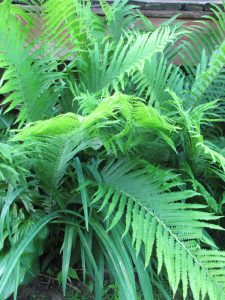 I dug up a bunch of these ferns from my sister-in-law's yard and planted them around the deck. T