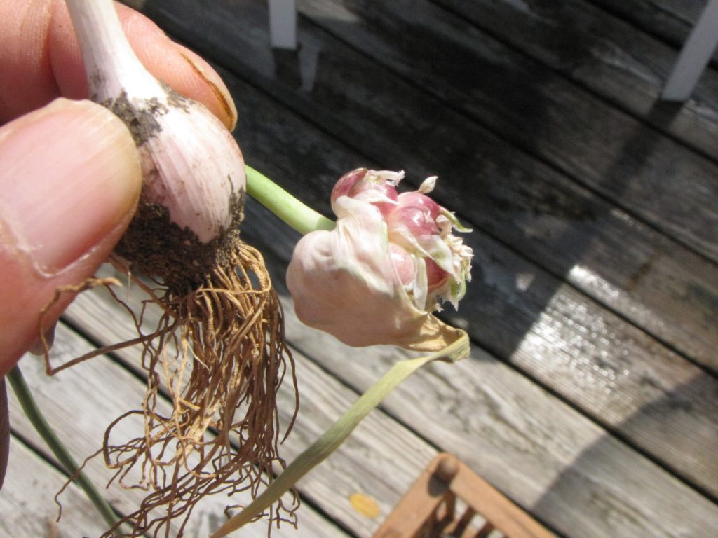 Harvest Garlic - scapes to seed 2 - Kimversations