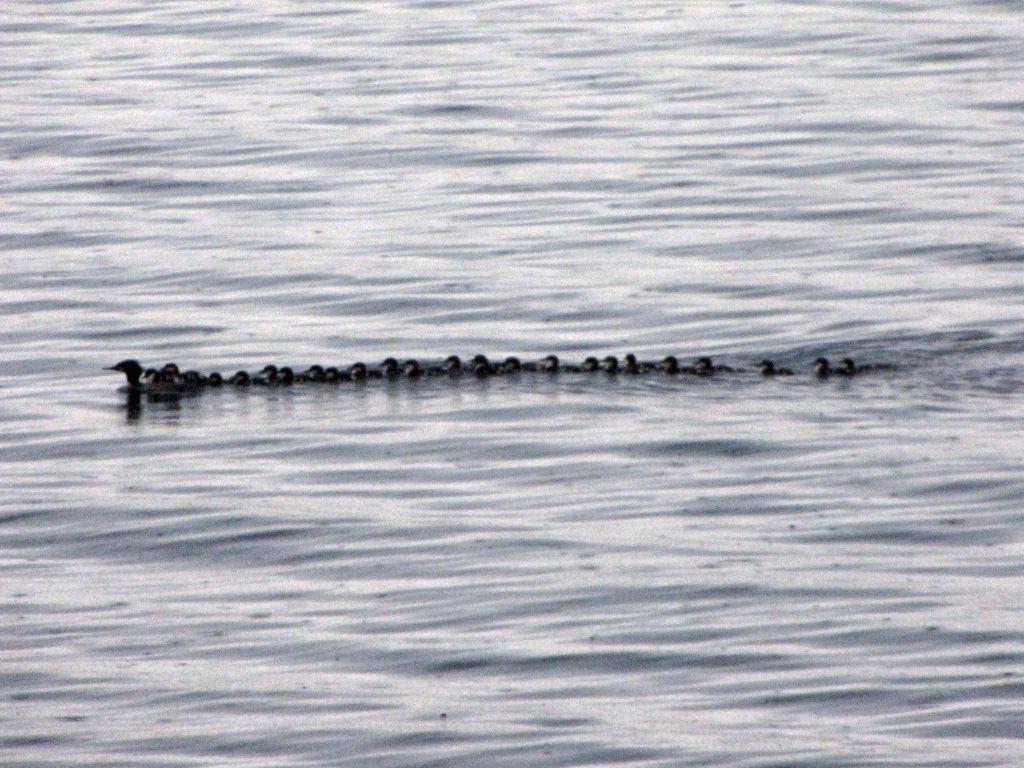 Merganser Duck Family