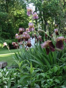 A pretty stand of bearded Iris. Wish they lasted longer.
