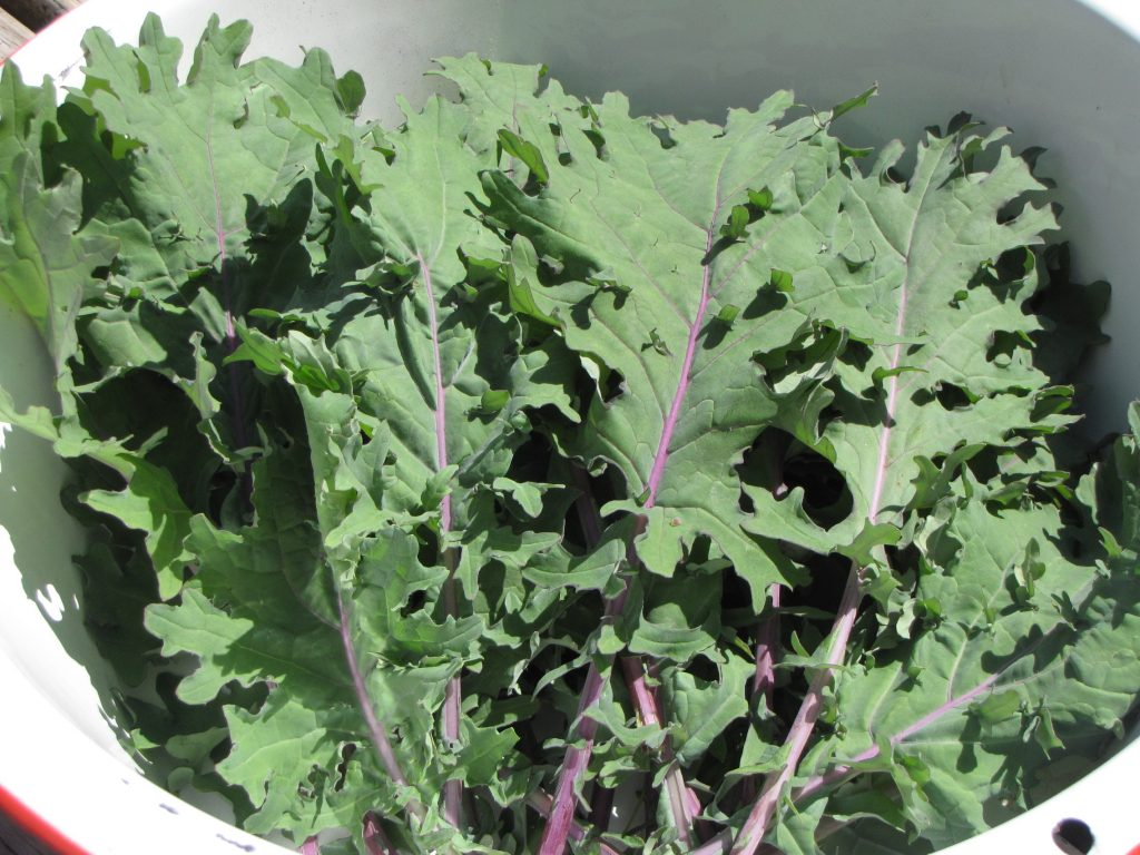 Red Russian kale from our garden