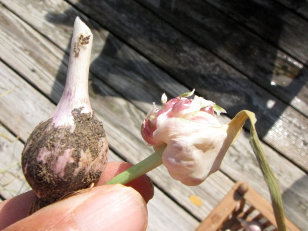 garlic going to seed
