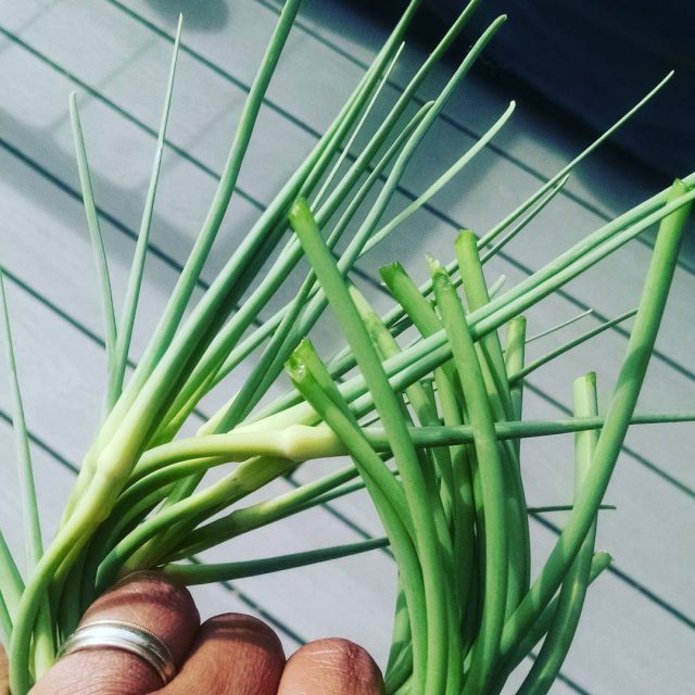 Picked garlicscapes today Its pesto time!!!