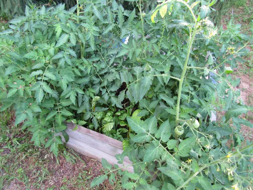 tomatoes and swiss chard in cold frame